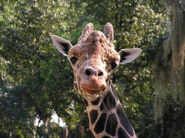 """Дълговрат жираф """" се нанася"""" в столичния зоопарк"""