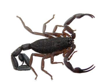 Скорпиони всяха смут в Хасково
