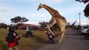 Разгонен жираф налита на ... мотор! (ВИДЕО)
