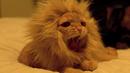 Запознайте се с котката, която мечтае да е лъв (ВИДЕО)