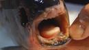 Уловиха риба с човешки зъби в Русия (ВИДЕО)