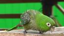 Папагал се мисли за кокошка и е страшно! (ВИДЕО)