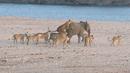 14 освирепели лъва нападат бебе слонче. Вижте как оцеля! (ВИДЕО)