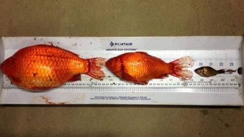 Канада призовава гражданите си да не хвърлят златни рибки в тоалетната