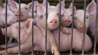 Приемат заявления за подпомагане за хуманно отглеждане на свине