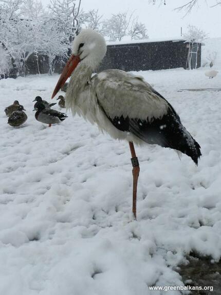 Щъркели в снега! Не ги хранете, лошо е за тях!