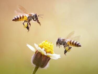 Разгадаха танца на пчелите