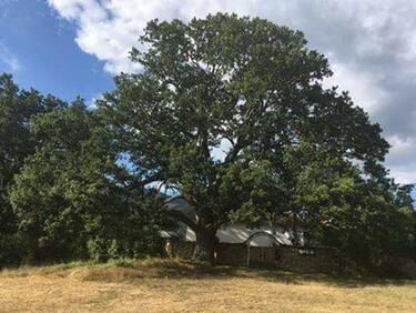 Дъб на над 6 века се бори за Европейско дърво на годината