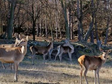 Родопите станаха дом на още 7 благородни елена