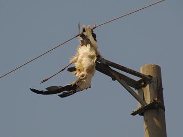 80% от младите царски орли гинат в електрическите жици