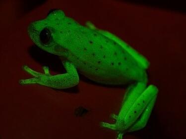 Природата е сътворила и светещи жаби (СНИМКИ)