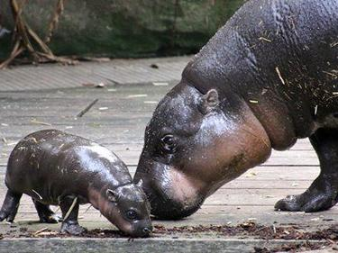 Хипопотамче джудже гастролира в Сидни (СНИМКИ)