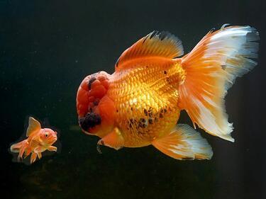 Британец отглежда гигантска златна рибка