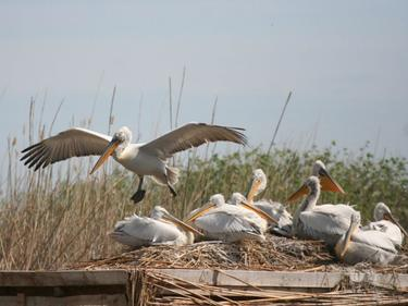 """Колонията на пеликаните в """"Сребърна"""" кипи от нов живот"""