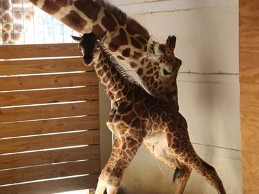 Раждане на жирафче стана сензация в мрежата (СНИМКИ/ВИДЕО)