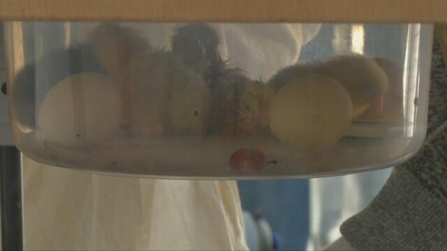 Френски художник измъти пиленца по арт проект (ВИДЕО/СНИМКИ)