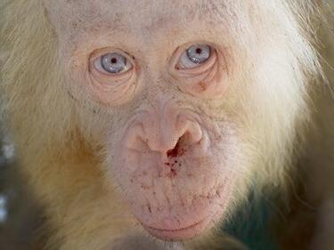 Спасиха рядък орангутан албинос със сини очи (ВИДЕО)