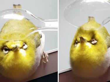Това определено е най-глезеното пиле в света (СНИМКИ/ВИДЕО)