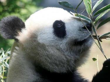 Зоопаркът в Токио ликува - роди се рядко бебе панда (СНИМКА)