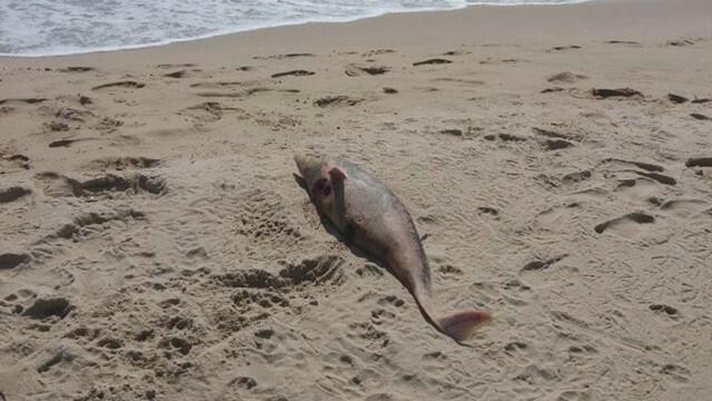 Бракониерите пак започнаха да избиват делфини, държавата нехае (СНИМКИ)
