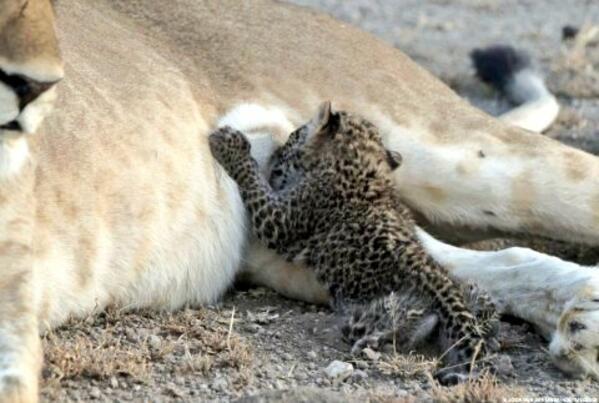 Невероятно! Дива лъвица кърми леопардче (СНИМКИ)