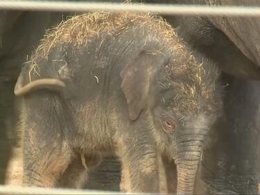 Бебе слонче се роди в зоопарка в Хюстън (ВИДЕО)