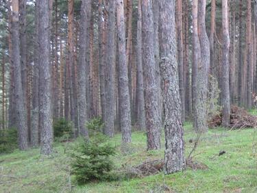 Масова сеч започва в горите на Южна България