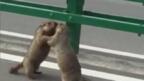 Мармоти се сбиха на магистрала в Китай (ВИДЕО)