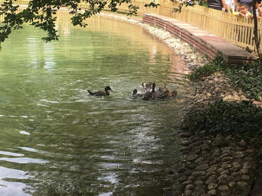 Патешкото езеро в Борисовата градина отново си има обитатели