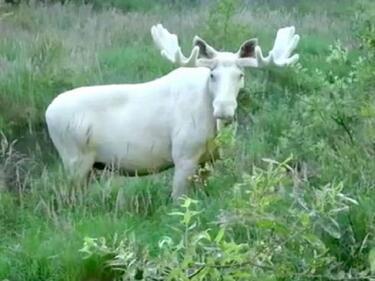 Кадри с рядък бял лос взривиха мрежата (ВИДЕО)