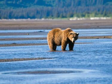 Затоплянето направи мечките в Аляска вегетарианци