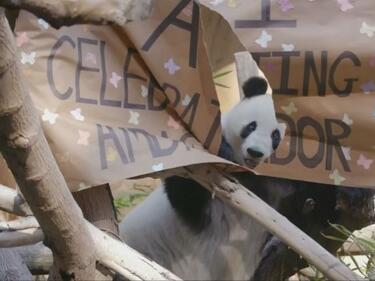 Пандата, спасила вида си от изчезване, навърши 26 години (ВИДЕО)