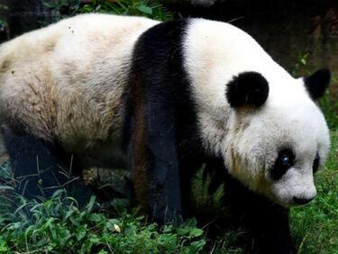 Най-старата голяма панда в света издъхна на 37 години (СНИМКА)