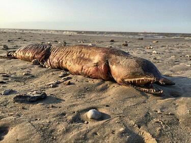 """""""Харви"""" изхвърли загадъчно същество на плажа в Тексас (СНИМКИ)"""