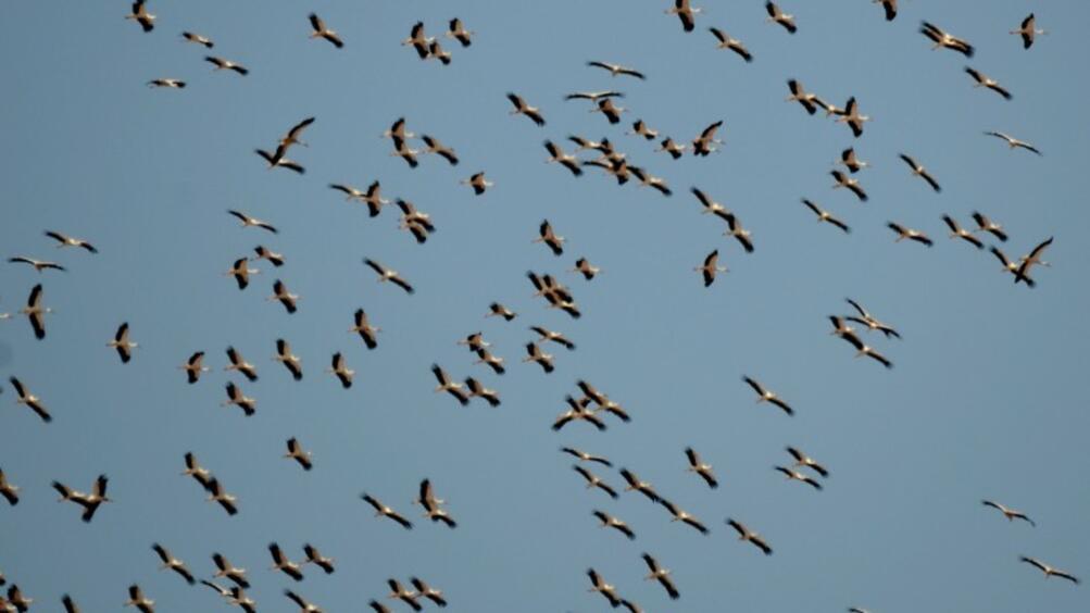 Започват Европейски дни на птиците.Честванията на миграцията на прелетните птици