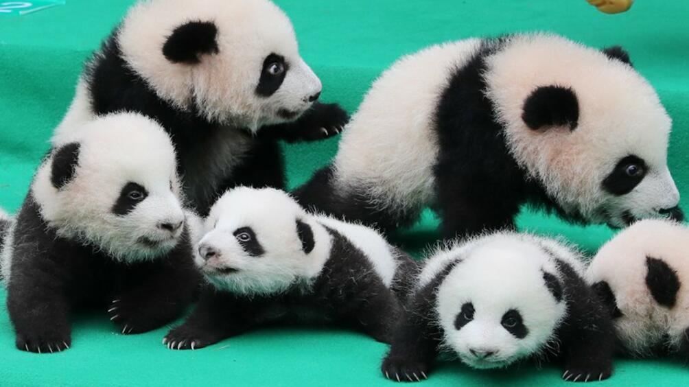 Малки панди направиха дебюта си пред публика в център за