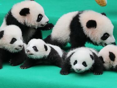 Малки панди дебютираха пред публика в Китай (СНИМКИ/ВИДЕО)