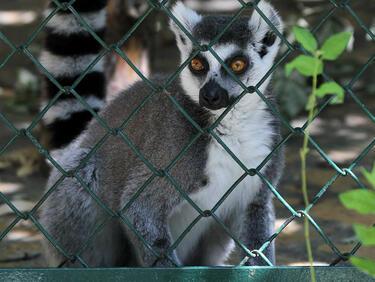 Изчезващ вид лемури започна да се възражда (ВИДЕО)