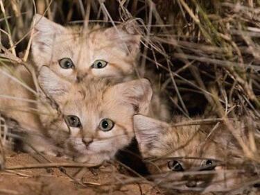Заснеха науловимите пясъчни котенца