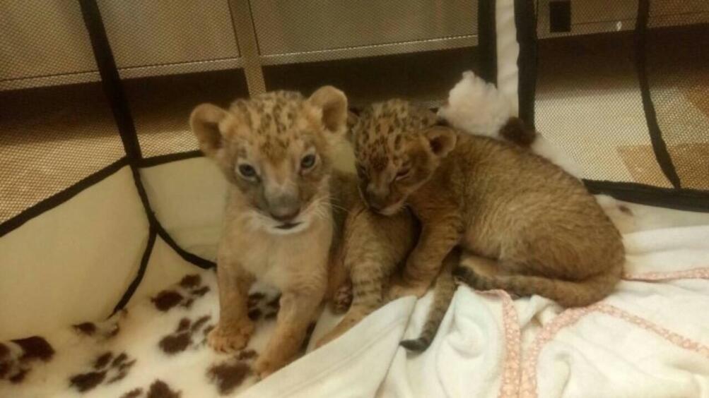 Терез и Масуд – двете лъвчета, коитобяха стъпкани от родителитеси