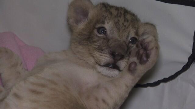 Търсят дом на двете лъвчета от зоопарка в Разград (СНИМКИ)