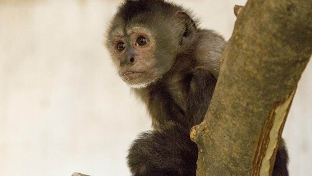 Защитен вид маймуна се роди в зоопарка в Честър.Колумбийската черноглава