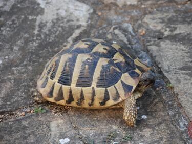 Софиянец заплашен със затвор заради защитена костенурка