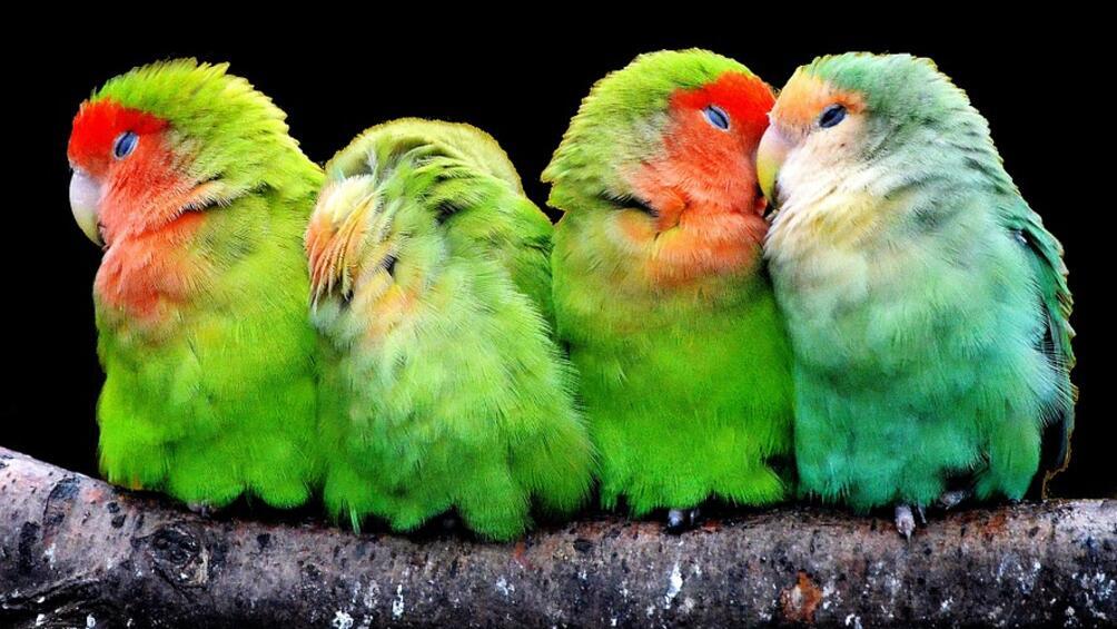 Над 50 вида канарчета показва изложба, която може да се