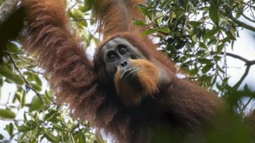 Учени откриха трети вид орангутани, който живее на индонезийския остров