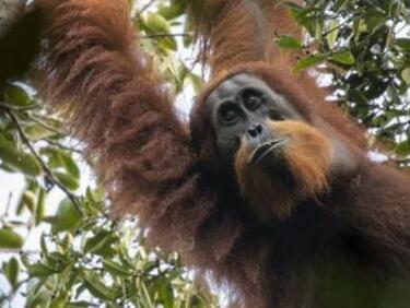 Откриха неизвестен вид орангутани на остров Суматра (СНИМКИ)
