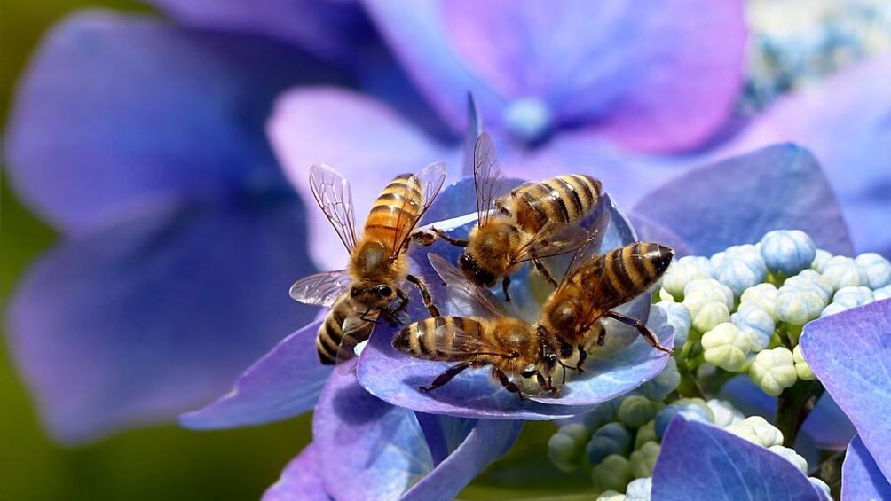 Австралийски учени откриха, че пчелите имат предпочитания към ляво или