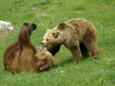 Сигнали за нападения от мечки преди да заспят зимен сън