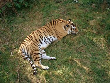 Сибирски тигър нападна жена в Русия (ВИДЕО)