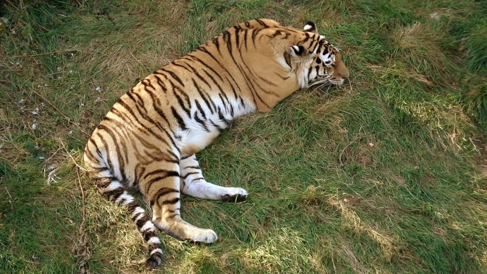 Сибирски тигър нападна служителка на зоологическа градина в Калининград в
